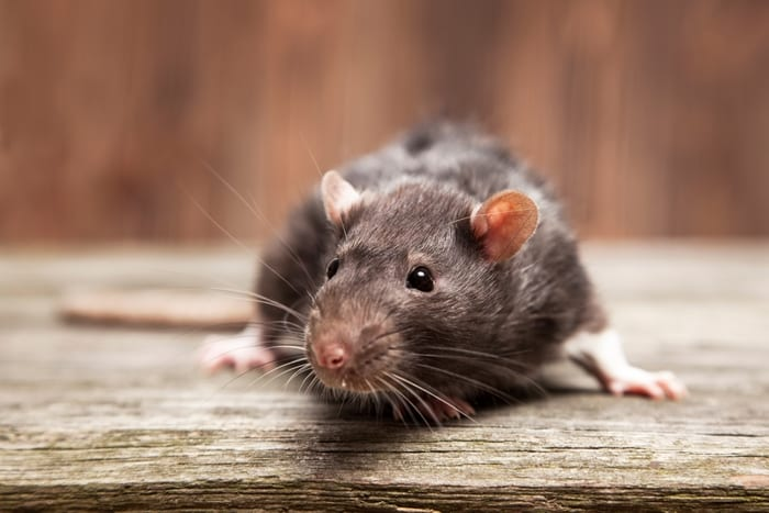 Public Warned About Illegal Rat Poison