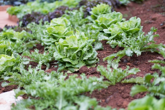 Improving Lettuce Production In Barbados