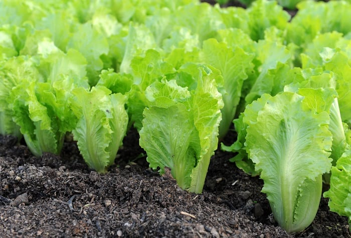 RDC's Open Farm Workshop On Growing Lettuce