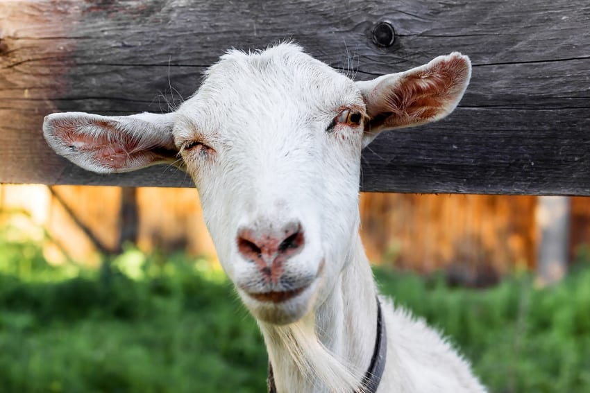 Training For Farmers In Goat Production