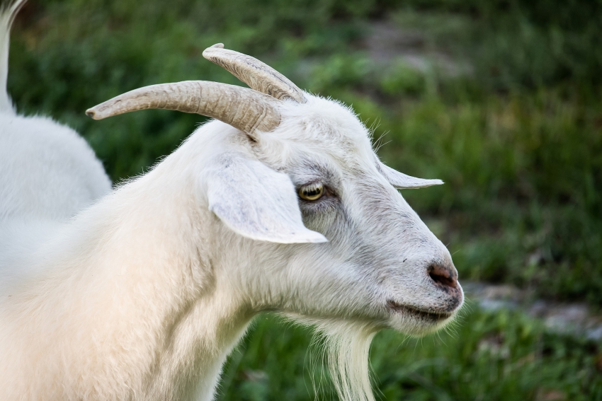 Training For Farmers In Goat Production Postponed