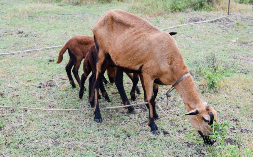 Small Ruminant Industry Can Be Profitable