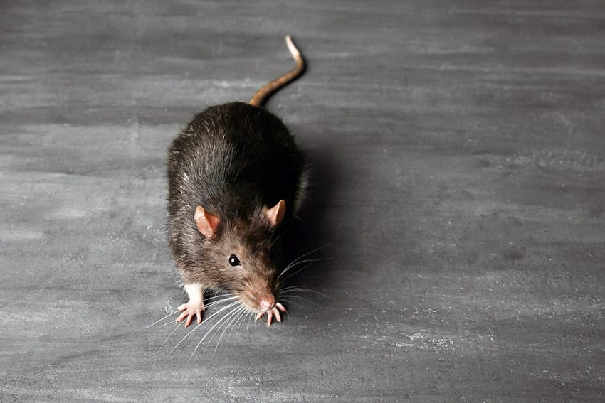 Health Ministry Tackling Rat Problem