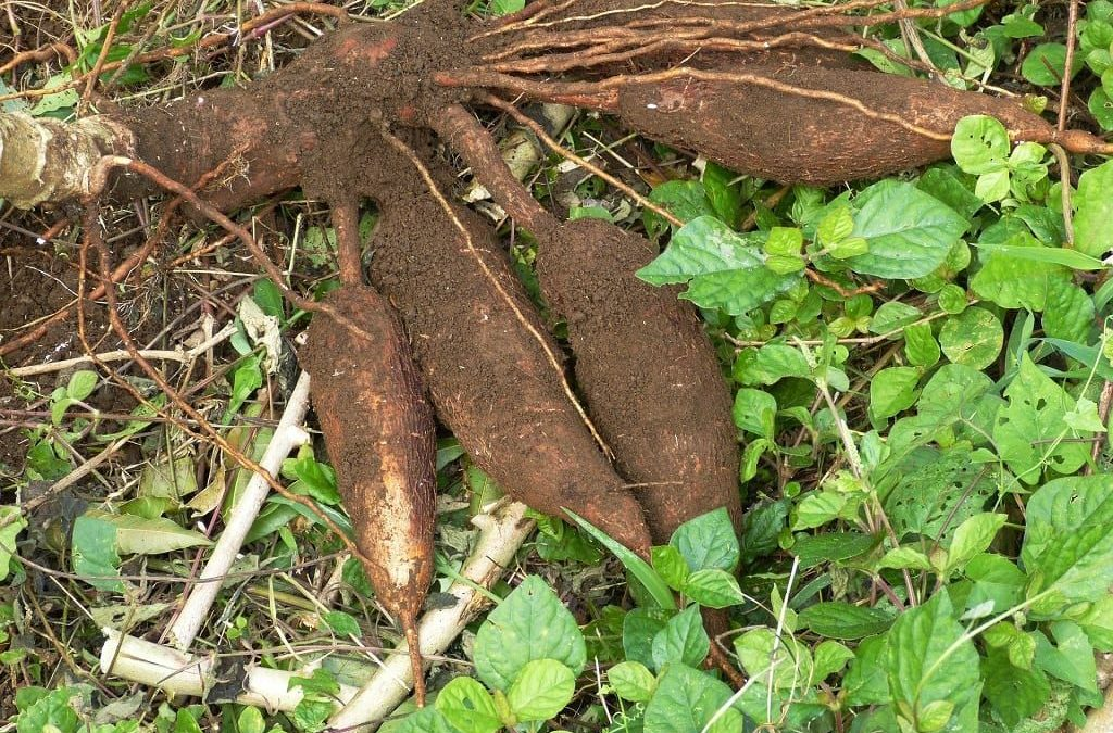 Cassava Processing Focus Of Workshop